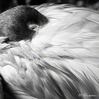 black and white photo of flamingo sleeping