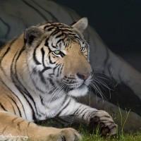 bengal tiger at waters edge