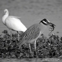 square photograph of banded heron feeding on crab