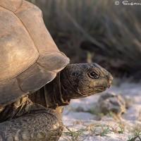 Aldabra tortoise profile