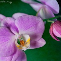 purple orchid bloom on green textured background