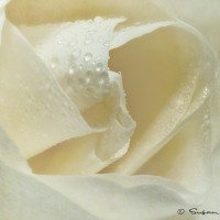 white rose modern art photo