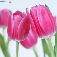 pink tulip on white background modern art