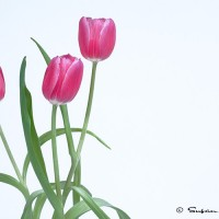 pink tulips on white background art photograph