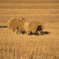 Peru hay fields and farmer art print