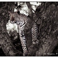 wildlife art print of leopard perched in tree