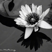 water lilly in pond art print