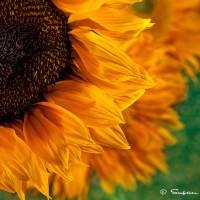 sunflower with texture art photo print