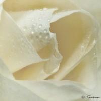 white rose modern art photo