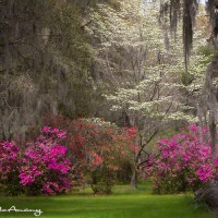 azalea and dogwood garden landscape art print
