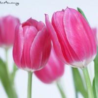 pink tulip on white background modern art