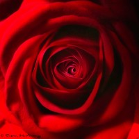 square art print of red rose close up