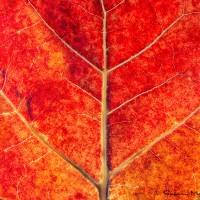 sea grape leaf nature art print