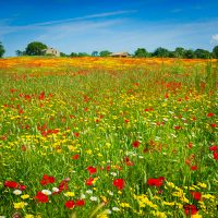 Poppies and Wildflowers In Italy
