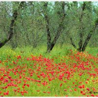 landscape photo of olive trees and poppies in Italy