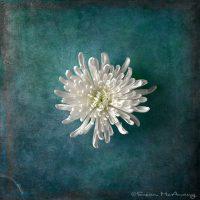 white mum flower on blue textured background
