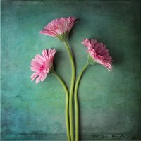 Pink daisy fine art print for sale